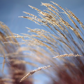 Wind by AJ Schroetlin - Nature Up Close Leaves & Grasses ( color, grass, ornamental grass, lensbaby, aj schroetlin, edge 80 )