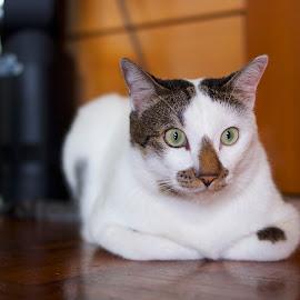 by Ken Nicol - Animals - Cats Portraits