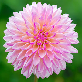Flutted Purple Dahlia by Jim Downey - Flowers Single Flower ( green, white, dahlia, yellow, purple )