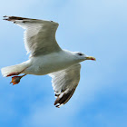 Yellow-legged Gull; Gaviota Patiamarilla