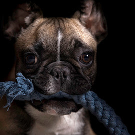 Filson the Frenchie by Dbart ... - Animals - Dogs Puppies ( tan, puppy, french bulldog, dog, toy,  )