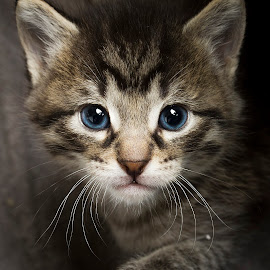 ajax by Eric Christensen - Animals - Cats Kittens ( kitten, blue, foster, tabby, eyes )