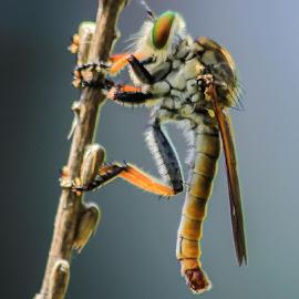 Robberfly by Alfian Fajar - Abstract Macro ( #macro #robberfly #insect )