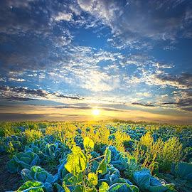 All Joined As One by Phil Koch - Landscapes Prairies, Meadows & Fields ( vertical, arts, fine art, travel, yellow, love, sky, nature, autumn, weather, light, trending, colors, twilight, art, agriculture, mood, horizon, journey, rural, portrait, country, dawn, environment, season, cabbage, serene, popular, outdoors, lines, natural, inspirational, hope, canon, wisconsin, ray, joy, landscape, sun, photography, life, emotions, dramatic, horizons, inspired, clouds, office, heaven, camera, beautiful, scenic, living, morning, farming, field, color, unity, blue, sunset, fall, peace, meadow, beam, sunrise, earth )