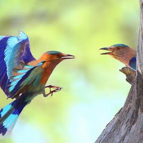 idian roller by Zahoor Salmi - Animals Birds ( animals, nature, wildlife, zahoorsalmi, birds )