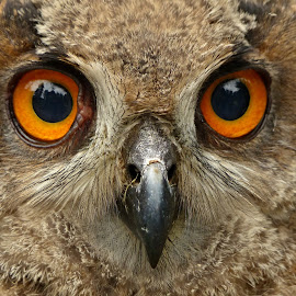 The owl´s baby by Renata Zemanová - Animals Birds ( owl, eyes )