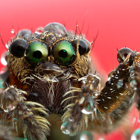 Jumping spider by ธเนศ ขวยไพบูลย์ - Animals Insects & Spiders ( canon, macro, jumping, spider, lens )
