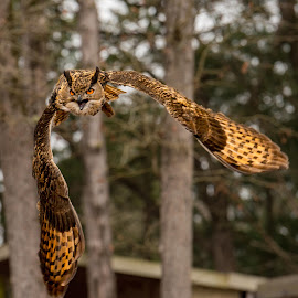 I'm Coming! by Judy Rosanno - Animals Birds ( flight, flying, bird of prey, eurasian eagle owl, owl, forest, silent flight )