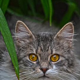 Sad sam VELIKI! by Mario Denić - Animals - Cats Portraits ( cat, big eyes, niš, portrait, mačka )