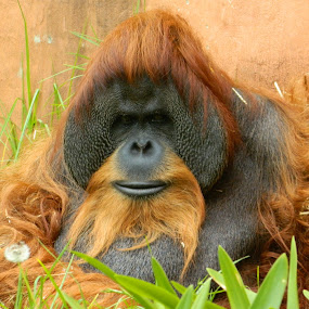 Orangutan by Unknown - Animals Other Mammals