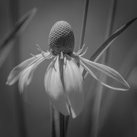 yellow coneflower by Fred Faulkner - Black & White Flowers & Plants ( nikon, coneflower, d7100, tokina 100mm f2.8, nature, yellow coneflower, b/w, summer, flower )