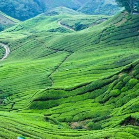 Green by Pak Lang - Landscapes Prairies, Meadows & Fields ( hill, green, malaysia, tea, landscape, plantation,  )