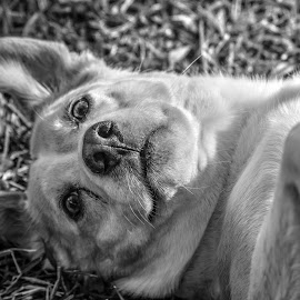 Cletus by Rebecca Frank-Rusnak - Animals - Dogs Playing ( doggie, monochrome, black and white, dog portrait, dog playing, dog )