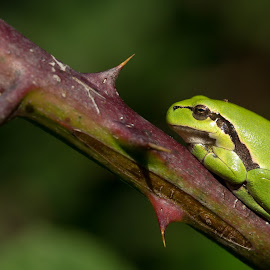 Too shy by Jürgen Sprengart - Animals Other ( frog, green, laubfrosch )