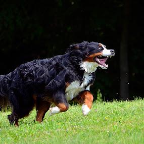 Ruuun Forest, rrrruuuuun! by Daniel Mlakar - Animals - Dogs Portraits ( runnning, dog, run )