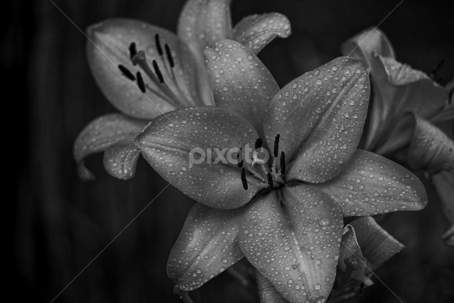 Dew  by Todd Reynolds - Black & White Flowers & Plants