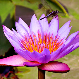 water lily by SANGEETA MENA  - Flowers Flowers in the Wild (  )