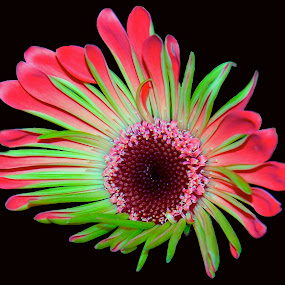 by D. Bruce Gammie - Nature Up Close Flowers - 2011-2013 ( black background, red, green, pink, flower )