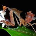 Giant Dead Leaf Mantis