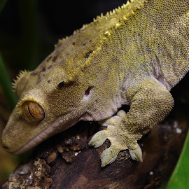 Female Crested Gecko by Gareth Dickin - Animals Reptiles ( lizard, wood, foot, scales, green, reptile, eye )