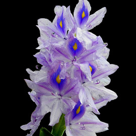 Hyacinth  by Asif Bora - Flowers Flowers in the Wild