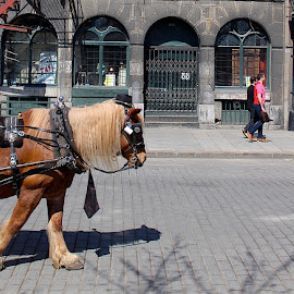 Horse Race by Ronnie Caplan - Animals Horses ( building, cobblestones, bridle, mane, green, arches, street, horse, white, brown, grey, old montreal, people )