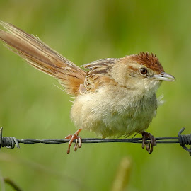Tawny Grassbird by Cathi Duck - Animals Birds ( tawny grassbird, australia, cute )
