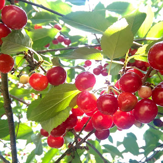 Picking and Preserving Sour Cherries – Malta Ridge Orchard & Gardens