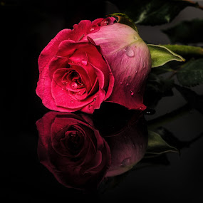 rose by Cristobal Garciaferro Rubio - Nature Up Close Flowers - 2011-2013 ( rose, reflection, drop, drops, roses, flowers, flower )