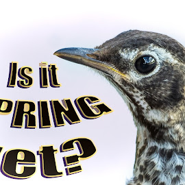 Spring? by Sheen Deis - Typography Captioned Photos ( robins, baby birds, birds, spring )