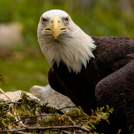 Bald Eagle by Michael Stefanich Jr. - Animals Birds ( #bird, #eagle, #nature, #animal, #mikestefanichjr, #wildlife )