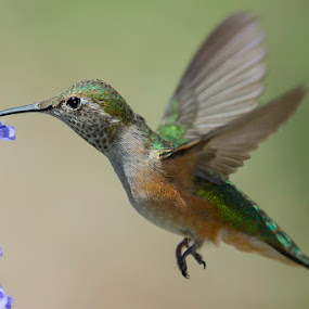A taste of nectar by Jerry Alt - Animals Birds ( bird, flash, macro, hummingbird, nectar )