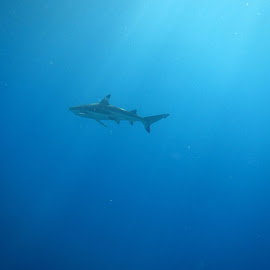 Blacktip Shark by Poppy Postance - Animals Sea Creatures ( blactip, tahiti, sea, ocean, shark )