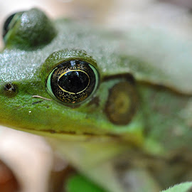 by Marcy Herrick - Animals Amphibians ( frog, green, amphibian )
