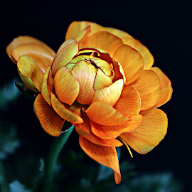Orange Ranunculus by Pieter J de Villiers - Flowers Single Flower