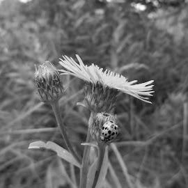 . by Georgi Kolev - Black & White Flowers & Plants ( треви., слънце., цветя., калинка., поляна. )