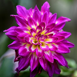 Dahlia 9264 by Raphael RaCcoon - Flowers Single Flower