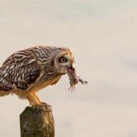 Owl by Hans Lunenborg - Animals Birds ( bird, nature, owl, birds, owls )