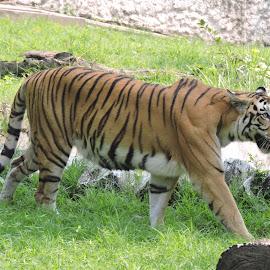 by Kambala Rajesh - Animals Lions, Tigers & Big Cats
