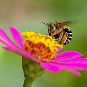 nice bee by Toni Panjaitan - Nature Up Close Flowers - 2011-2013 ( flower )