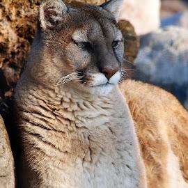Regality by Abbie Goyette - Animals Lions, Tigers & Big Cats ( #puma, #bigcat, #nature, #animal, #mountainlion, #cougar )