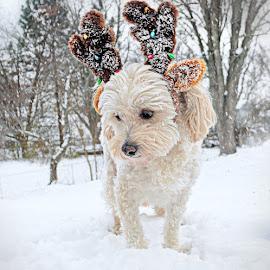 Reindeer Dog 7 by B Lynn - Animals - Dogs Portraits ( mammals, up close, face, reindeer, animals, dogs, hdr, white, christmas, cute, close up, portrait, pet portrait, puppies, winter, cold, pet, pets, snow, costume, puppy, adorable, dog, portraits, deer )