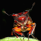 Reddish-brown Stag Beetle