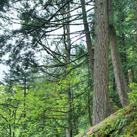 Harrison Hot Springs Trail by Ernie Kasper - Landscapes Forests ( fallen trees, canada, nature, logs, harrison hot springs, trail, trees, branches )