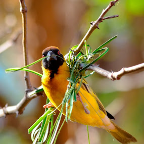 Hard at work by Hannes van Rooyen - Animals Birds ( southern, weaver, male, adult, masked,  )