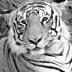 Indian Tiger by Diliban P - Black & White Animals ( beast, big cat, tigress, zoo, tiger, black and white, wildlife, animal )