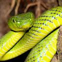 Cameron Highlands Pit Viper