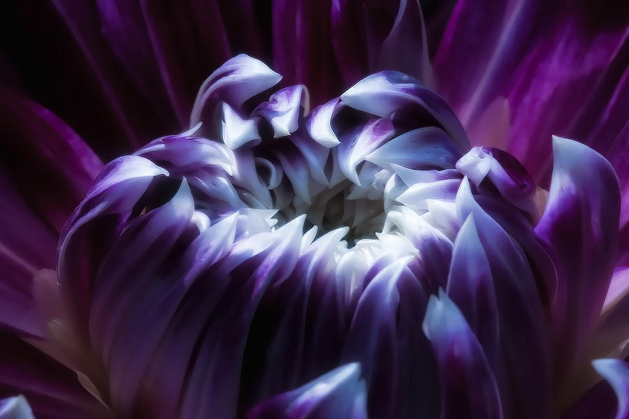 Purple and white Dahlia by Paula Eagle - Nature Up Close Flowers - 2011-2013 ( purple, dahlia, flower )
