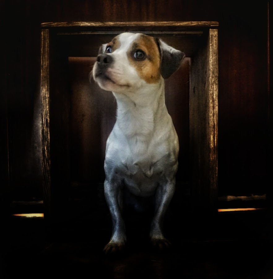 A Belt in a Box by Matthew Miller - Animals - Dogs Portraits ( jack russell, pet, dog portrait, terrier )