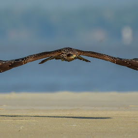 Black kite by Maroof Rana - Animals Birds ( bird, flying, nature, moment, wildlife )